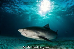 Tiger Shark @ Tigerbeach by Michael Bogner 